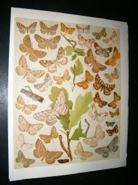 Kirby 1907 Boarmiidae, Heath Moths etc 48. Antique Print
